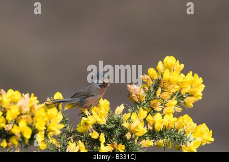 Dartford Warbler Sylvia undata in song Dunwich Heath Suffolk April - Stock Photo
