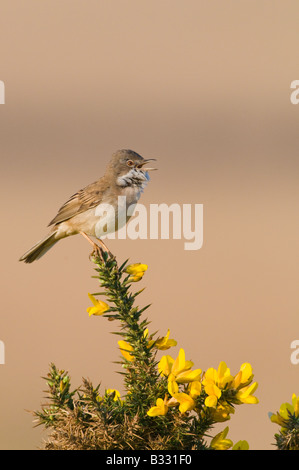 Whitethroat Sylvia communis in song Minsmere RSPB Reserve May - Stock Photo