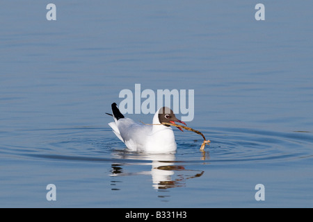 Black headed Gull Larus ridibundus adult with nest material on scrape at Minsmere RSPB Reserve Suffolk May - Stock Photo