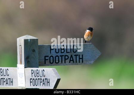 Stonechat saxicola torquata on footpath sign Minsmere Suffolk April - Stock Photo