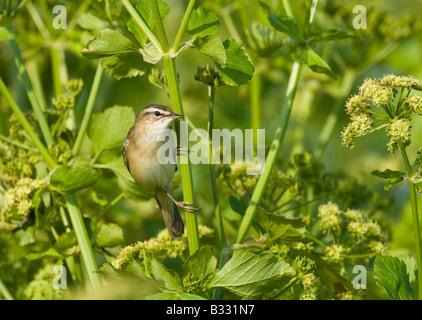 Sedge Warbler Acrocephalus schoenobaenus in song Cley Norfolk April - Stock Photo