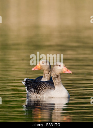 Greylag Geese Anser anser Cley Norfolk May - Stock Photo
