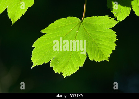 Sycamore Leaves in spring Norfolk April - Stock Photo