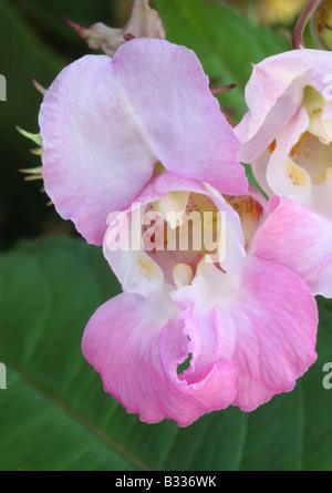 Himalayan balsam, Impatiens glandulifera, closeup of flower