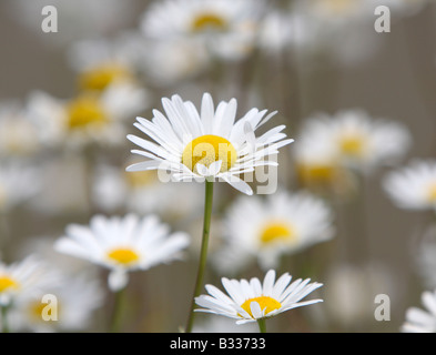 Ox-eye daisies, Leucanthemum vulgare - Stock Photo