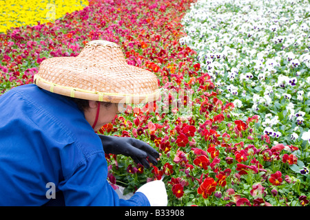 Chinese woman plants flowers wearing traditional woven hat - Stock Photo