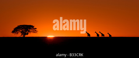 Giraffes (Giraffa camelopardalis) at Sunrise in Etosha National Park, Namibia - Stock Photo