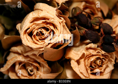 A bunch of dead roses - Stock Photo