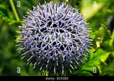 Echinops bannaticus TAPLOW BLUE - Stock Photo