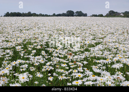 field of daisies Walcheren Zeeland Netherlands - Stock Photo