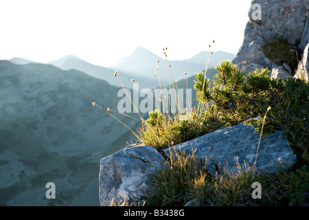 Dwarf vegetation on Sinanitsa mountain cliffs in World Heritage Site Pirin National Park Bulgaria - Stock Photo