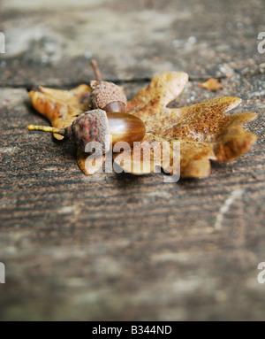 Acorn & Oak tree leaf - Stock Photo