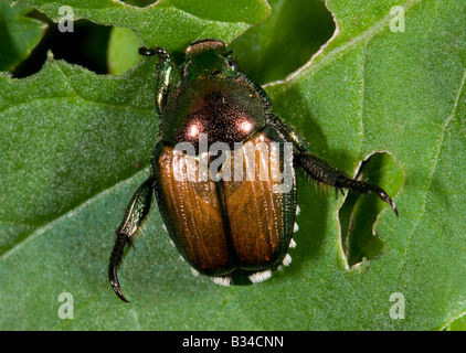 Japanese Beetle Popillia japonica - Stock Photo