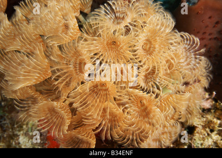 Social feather duster Bispira Brunnea, a fully extended tube worm in the soft gentle Caribbean currents - Stock Photo