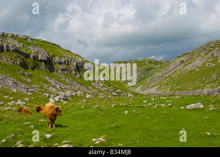 Highland cattle grazing on route to Malham Tarn in Yorkshire Dales - Stock Photo