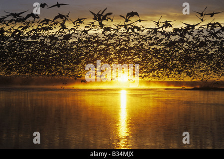 Snow Goose Chen caerulescens flock lifting off at sunrise Bosque del Apache National Wildlife Refuge New Mexico - Stock Photo