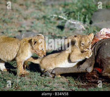 Kenya, Narok District, Masai Mara National Reserve. Lion cubs on a buffalo kill.Cubs are born blind and will open - Stock Photo
