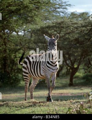 Kenya, Samburu district, Maralal. A common or Burchell's zebra near Maralal, Northern Kenya. This muscular horse - Stock Photo