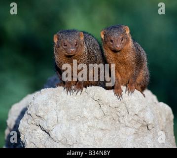 Kenya, Samburu district, Samburu National Reserve. Two dwarf mongooses on top of a termite mound, which serves as - Stock Photo