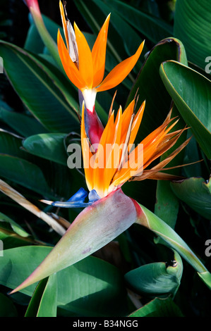 Strelitzia reginae - Stock Photo