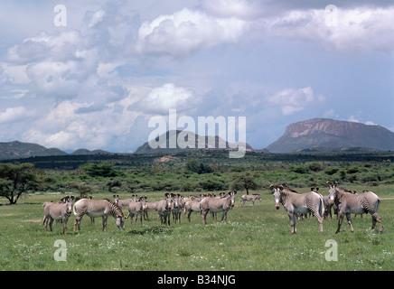 Kenya, Samburu district, Samburu National Reserve. A large herd of Grevy's zebra in the Samburu National Reserve. - Stock Photo