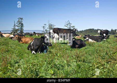 Contented dairy cows resting in green pasture. - Stock Photo