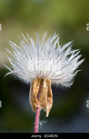 Pulsatilla, pasque flower seed head Stock Photo, Royalty ...