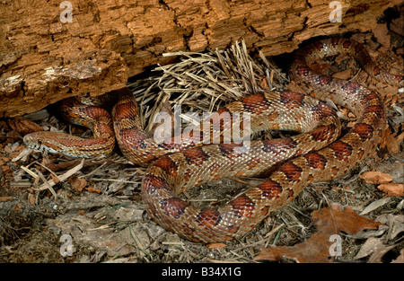 Corn Snake Elaphe guttata guttata - Stock Photo