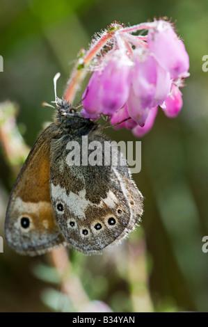 Large Heath (Coenonympha tullia) on Cross-leaved Heath - Stock Photo