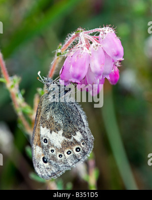 Large Heath Butterfly (Coenonympha tullia) on  Bell Heather - Stock Photo