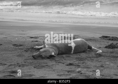 Street dog sleeping at the beach - Stock Photo
