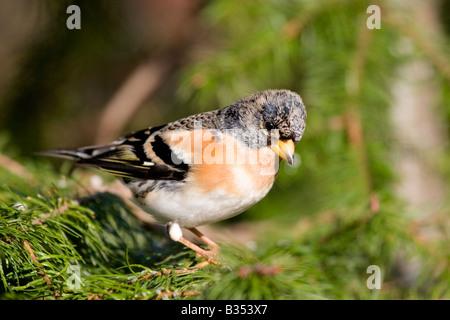 Male Brambling (Fringilla montifringilla) in pine tree, England UK - Stock Photo