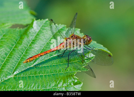 Common Darter dragonfly (Sympetrum striolatum), male at rest - Stock Photo