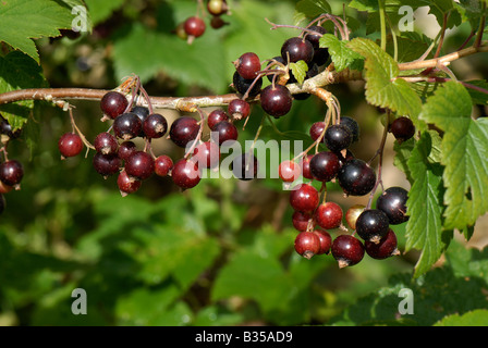 Black currants Ribes nigrum ripening on the bush - Stock Photo
