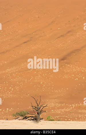 Camel thorn three against sand dune in Namib Naukluft Park at Sossusvlei is the largest game park in Africa with - Stock Photo