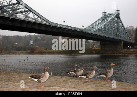 Grey geese and the Blue Wonder bridge, Dresden, Germany - Stock Photo