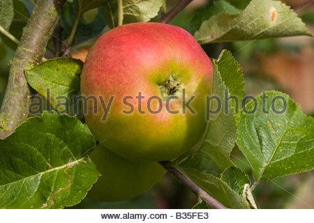 Bramley cooking apple ripening on tree - Stock Photo