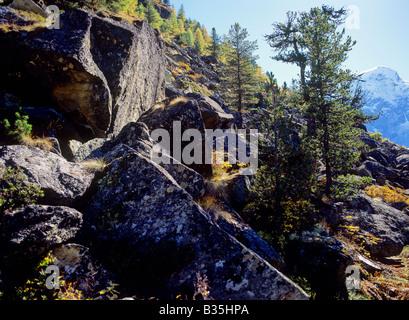 mountain forest of larches near settlement of arolla arolla valley swiss alpes canton of valais switzerland - Stock Photo