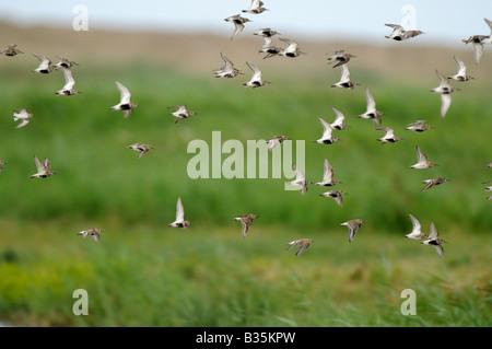 Dunlin calidris alpina flock in late summer plumage in flight Noroflk UK july - Stock Photo