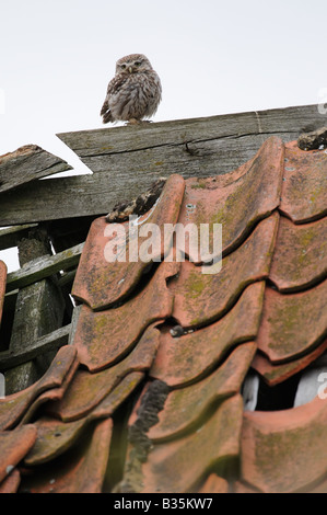 Little Owl athene noctua perched on derelict barn roof in daylight - Stock Photo