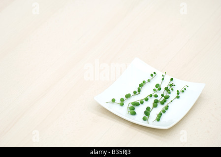 Vines (senecio rowleyanus) on curved white dish - Stock Photo