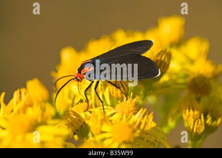 Cinnabar Moth on Tansy Ragwort. - Stock Photo