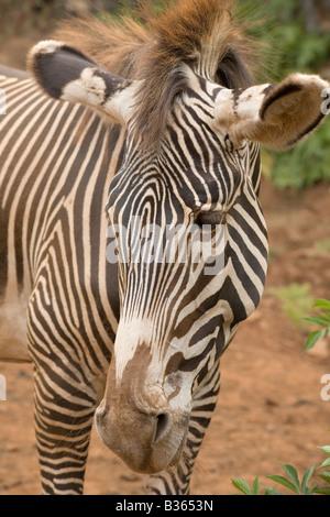 Grevy s Zebra Equus grevyi in a safari park - Stock Photo
