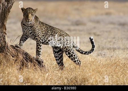 African Leopard, male attempting to climb into a tree (Panthera pardus), Ndutu, Ngorongoro, Tanzania - Stock Photo