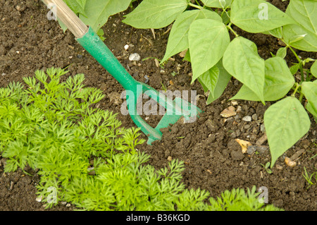 Carrots growing in a raised bed in a polytunnel Stock Photo ...