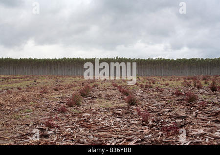 Blue Gum Tree plantation - Stock Photo