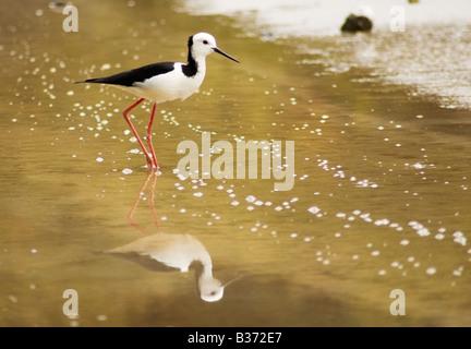 A Pied Stilt, Poaka, Himantopus Himantopus leucocephalus and reflection - Stock Photo