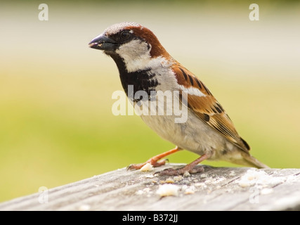 A House Sparrow, Passer domesticus, eating crumbs from a picnic table - Stock Photo