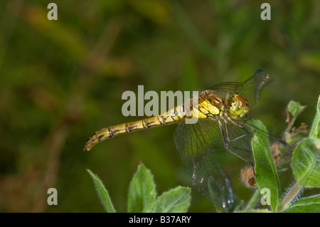 Dragonfly Common Darter Sympetrum striolatum in typical resting pose. - Stock Photo