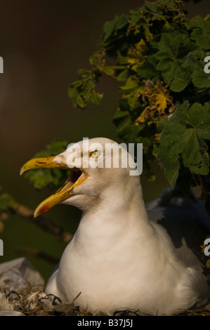 "Herring Gull ""Larus Argentatus'on nest  Bass Rock off the coast of Scotland. - Stock Photo"